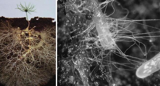 Nấm, rễ cây cộng sinh