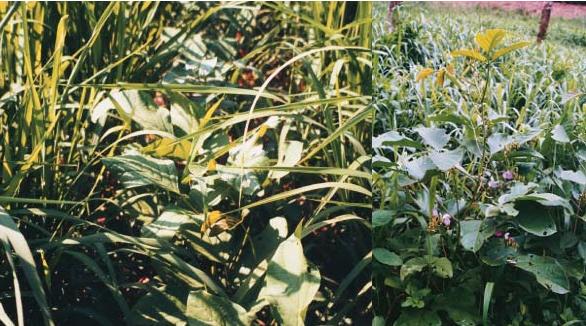 đậu kiếm cây trồng che phủ đất