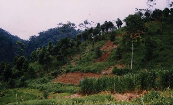Cách trồng cỏ voi