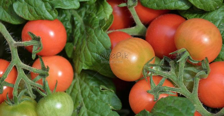 cà chua chín tự nhiên